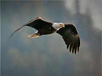 bald-eagle-flying--tom-munson